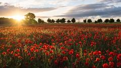 Poppy Sunset (craigashford) Tags: sunset red evening dusk cotswolds poppy poppyfield yanworth