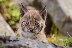 I know I am cute (nemi1968) Tags: 6weeksold canon canon5dmarkiii ef70200mmf28lisiiusm eurasianlynx gaupe july langedrag lynx markiii adorable cat catfamily closeup cute eartufs eyes fluffy gorgeous kitten lynxcub lynxkitten nose portrait summer whiskers specanimal