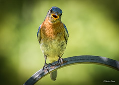 The Bluebirds are even saying it is hot in MS. (dixiedog) Tags: bluebird wildlife bird mississippi summer