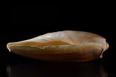 Shell III (Franco Gavioli) Tags: sea stilllife mare shell sicily augusta sicilia lightbox francesco conchiglia 2016 gavioli canonef100mmf28macrousm fragavio canoneos600d scanlio
