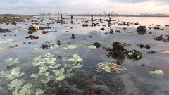 Mass coral bleaching at Pulau Semakau (East), 23 Jul 2016 (wildsingapore) Tags: pulau semakau east island threats bleaching singapore marine coastal intertidal seashore marinelife nature wildlife underwater wildsingapore scleractinia cnidaria landscape