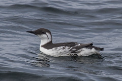 Common Murre (J.B. Churchill) Tags: alcidae alcids birds ca comu california commonmurre monterey montereybay places taxonomy unitedstates us