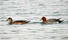 Eurasian Wigeon Pair (tinlight7) Tags: wigeon eurasianwigeon drake duck ducks pair lake swimming qudra dubai uae taxonomy:kingdom=animalia animalia taxonomy:phylum=chordata chordata taxonomy:subphylum=vertebrata vertebrata taxonomy:class=aves aves taxonomy:order=anseriformes anseriformes taxonomy:family=anatidae anatidae taxonomy:genus=anas anas taxonomy:species=penelope taxonomy:binomial=anaspenelope europeanwigeon  fischione  necxiulador anaspenelope canardsiffleur euwi piadeiracomum piadeira patosilbn pfeifente  silbneuropeo haapana   taxonomy:common=europeanwigeon taxonomy:common= taxonomy:common=fischione taxonomy:common= taxonomy:common=necxiulador taxonomy:common=canardsiffleur taxonomy:common=eurasianwigeon taxonomy:common=euwi taxonomy:common=piadeiracomum taxonomy:common=piadeira taxonomy:common=patosilbn taxonomy:common=pfeifente taxonomy:common= taxonomy:common=silbneuropeo taxonomy:common=haapana taxonomy:common= taxonomy:common=