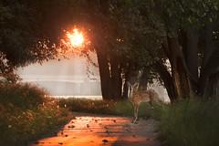 Look Both Ways, Little One (mizzginnn) Tags: deer morning sunrise river park sidecut nikond500