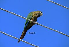 Tiriba-de-testa-vermelha / Maroon-bellied Parakeet /Pyrrhura frontalis (Arlete M) Tags: piquetesp tiribadetestavermelha maroonbelliedparakeet pyrrhurafrontalis cuazul bluesky freebird