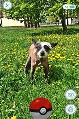 Caught pooping pokemon (Alexandr Tikki) Tags: world summer dog game smart fun idea funny top lol ukraine pokemon koks pokemongo