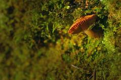 Mushroom in the fading light (Yani Dubin) Tags: goldenhour plant mushroompits canterbury mushroom colour d7000 gimp moss fungus minersbank brown macrophotography color christchurch orange fungi darktable winter newzealand green macro tokinaaf100mmf28macro