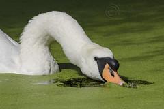 8317 Mute Swan (Pete.L .Hawkins Photography) Tags: mute swan cygnet