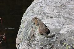 Golden-mantled Ground Squirrel (avesjohn) Tags: rockymountainnationalpark goldenmantledgroundsquirrel