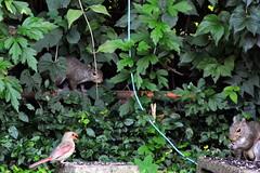 cardnialsquirrelsDSC_9812 (lexky) Tags: cardinal squirrel bird animals