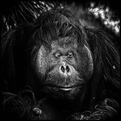 one of us - orang-utang (TheOtherPerspective78) Tags: orangutang ape menschenaffe zoo tiergarten schnbrunn captive animal human humanoid species vienna wien wildlife portrait kopf face expression eyes theotherperspective78 canon ef100400l black white schwarz weiss