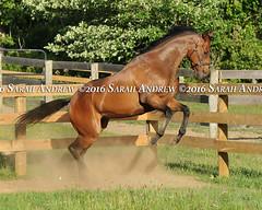 Most Happy Fella, happy in retirement at ReRun in NY (Rock and Racehorses) Tags: webmosthappyfellaska7344sarahandrew mosthappyfella rerun ottb ny thoroughbred myra racehorse saratoga nyra