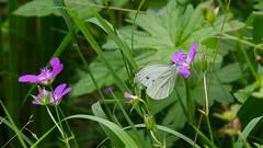 butterfly / Schmetterling Grnaderweiling (Oerliuschi) Tags: falter butterfly schmetterling grnaderweisling fluginsekt insekten blte lumixgx8 panasonic