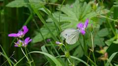butterfly / Schmetterling Grünaderweißling (Oerliuschi) Tags: falter butterfly schmetterling grünaderweisling fluginsekt insekten blüte lumixgx8 panasonic