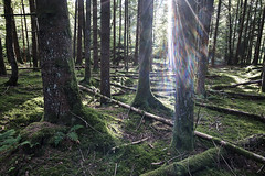 Fichtenforst im Heidimoos (bolliger51) Tags: heidiwald leuzigenwald heidimoos fichte forst fichtenforst leuzigewald wwf wwfreservat wald kosystem sonne licht lichtstrahl sonnenstrahl moosteppich reservat waldreservat naturwaldreserva stamm baumstamm konifere totholz nadelwald leuzigen bern schweiz che