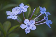 Plumbago (satochappy) Tags: plumbago purple sydney australia winter    nuvem flowerofnuvem