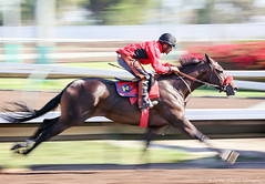 Los Alamitos 8.12.16 1 (Marcie Gonzalez) Tags: racehorse racehorses race horse horses track racing racer ride rider sport event movement motion fast run running round southern california calif ca usa us north america sports practice training pan panning los alamitos