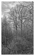 leafless twins (e27182818284) Tags: sigma1020mmf35exdchsm winter riversidewoodland