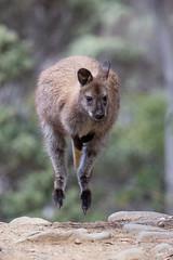 Bennetts Wallaby, (robertdownie) Tags: path rocks kangaroo hop wallaby hopping tasmanian wilderness world heritage area rednecked australia tasmania macropus rufogriseus mount field national park bennetts
