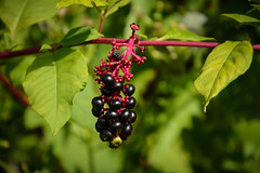 Pokeberries (desouto) Tags: nature hdr landscape trees rivers mountains wildflowers sky clouds