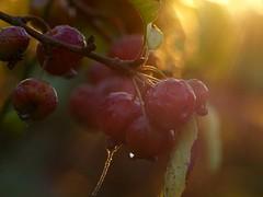 Caresse de lumire... (chang_j1) Tags: extrieur jardin pommier pommes couleur lumire