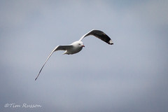 IMG_6984 (timrusson) Tags: silvergull