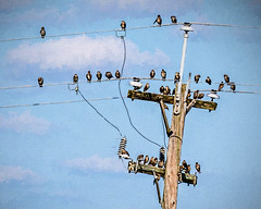 The Birds (Wes Iversen) Tags: hss michigan saginaw shiawasseenationalwildliferefuge sliderssunday tamron150600mm birds painterly powerlines powerpoles wires