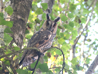 Bufo-pequeno // Long-eared Owl // Asio Otus