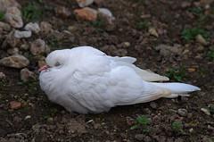 Thse-la-Romaine (Loir-et-Cher) (sybarite48) Tags: france bird dove paloma pssaro p taube oiseau vogel colombe pjaro kus pomba uccello  ku gob ptak gvercin loiretcher duif  golab    colomba    thselaromaine