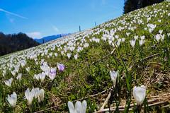 Frhling in Bayern (Seiltanz) Tags: germany bayern deutschland bavaria spring wiese blumen berge krokus frhling
