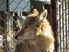 Coyote (bookworm1225) Tags: zoo march minnesotazoo 2015 tropicstrail minnesotatrail