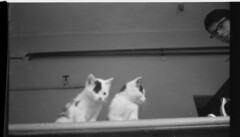 It Happened Here.   Kittens & Kevin Brownlow (theirhistory) Tags: camera uk bw cats film wales 35mm movie kittens 1940s german soldiers 16mm amateur invasion blowup radnor germans featurefilm kevinbrownlow oldradnor newradnor rosemaryclaxton andrewmollo