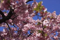 early Cherry blossoms (miyomiyoko) Tags: pink sky flower japan cherry spring cherryblossom sakura cherryblossoms cherrytrees