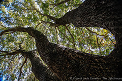 Holy Trinity (the_light_house_photography) Tags: trees tree trinity bigtree hugetree baylaurel