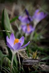 le timide esseulé (.Sophie C.) Tags: flower fleur spring crocus printemps flore régionnordpasdecalais