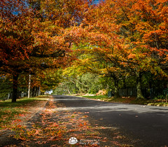 Autumn Road (Gary Hayes) Tags: autumn trees blackheath australia bluemountains mount wilson oceania mountvictoria mountwilson