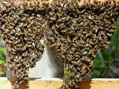 Festooning Honeybees (alansurfin) Tags: abejas bees beehive abeilles bienen honeybees apismellifera festooning
