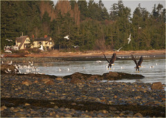 lift-off (marneejill) Tags: two seagulls beach vancouver creek season french island fishing bc lift bald rocky off busy mature wingspan eagles herring