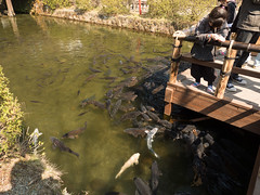 P1550524.jpg (Rambalac) Tags: fish water animals japan pond asia nikko животные вода пруд рыба tochigiken nikkōshi япония азия никко lumixgh4