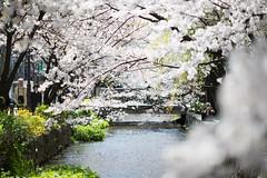 628A3267 (TetuNotable) Tags: kyoto sakura kiyamachi