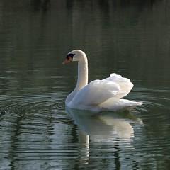 Jeu de séduction ** (Titole) Tags: swan squareformat cygne unanimouswinner friendlychallenges thechallengefactory titole nicolefaton