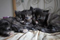 (fabsciack) Tags: cat kitten kitty gatos gato gatinhos
