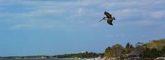 Pelican ... (Z.3.R.0.) Tags: closeup nikon pelican v2