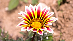Beautiful Gazania() (Johnnie Shene Photography(Thanks, 1Million+ Views)) Tags: flowers red wild people plants white plant flower colour macro nature floral beautiful horizontal canon lens outdoors photography eos rebel one living spring high flora focus scenery kiss day angle natural image zoom outdoor no wildlife south scenic sigma tranquility scene korea images apo full single modified gazania daytime colourful 70300mm length chrysanthemum tranquil hdr freshness dg chrysanthemums determination selective 456 t3i x5 70300 organism  gazanias  fragility 600d f456