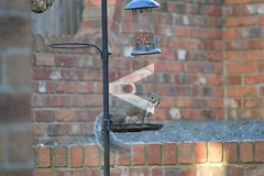 bird squirrel feeder tray inquisitive