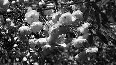 spring blossoms 02 (byronv2) Tags: flowers trees blackandwhite bw nature monochrome scotland blackwhite petals spring edinburgh blossom blossoms princesstreetgardens princesstreet newtown cherrytree cherrytreeblossoms edimbourg