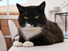 Tuzz the table-top-kitty (vanstaffs) Tags: t tuxedocat tux tutu tusse tussi tuzz myprettygirl bestofcats morebrownthanblack tuxedogirl myprettytuxedogirl tuzz