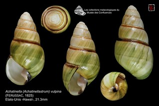 achatinella (achatinellastrum) vulpina2 hawai 21mm3