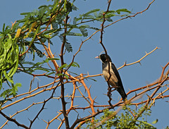 Rosy Starling on thorny perch (vil.sandi) Tags: india bird perch rajasthan thorny rosystarling sturnusroseus rosenstar