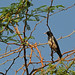 Rosy Starling on thorny perch